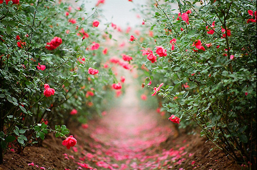 flowerspathrosesgreenpink- OpinionatedMale.com